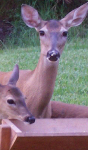Doe and Fawns at Deer Feeder