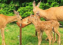 Hurley-Byrd Free Deer Feeder Plans