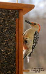 Red Bellied Woodpecker on Tube Feeder